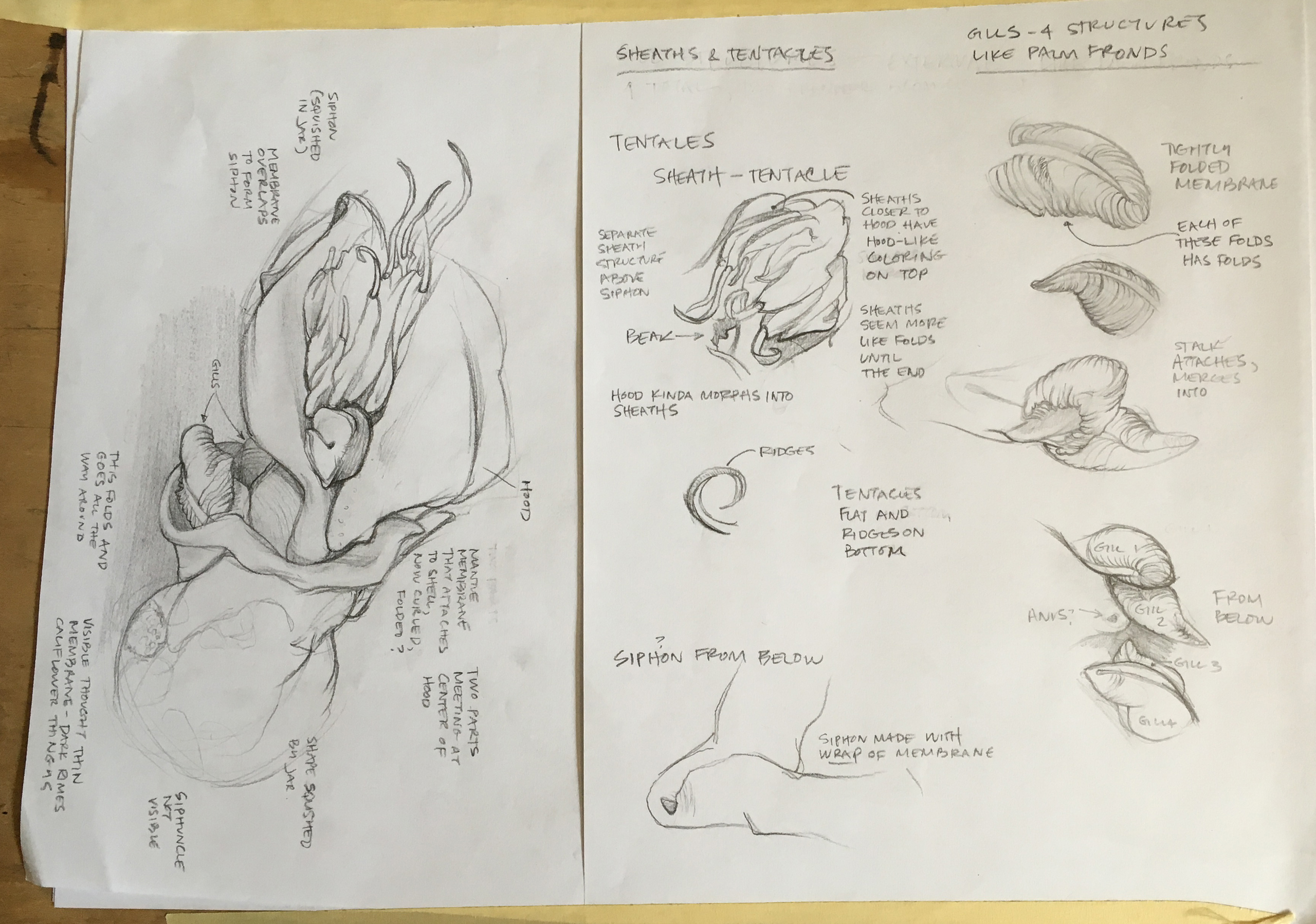 Sketch from CAS Specimen