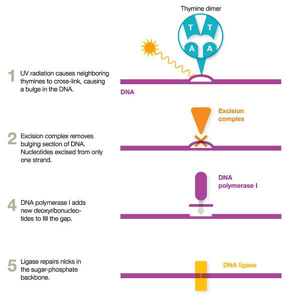 DNA-Ligase.jpg