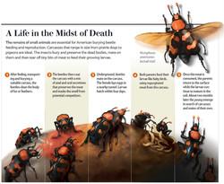 Scientific American Beetle Illustration