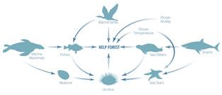 kelp-food-web.jpg