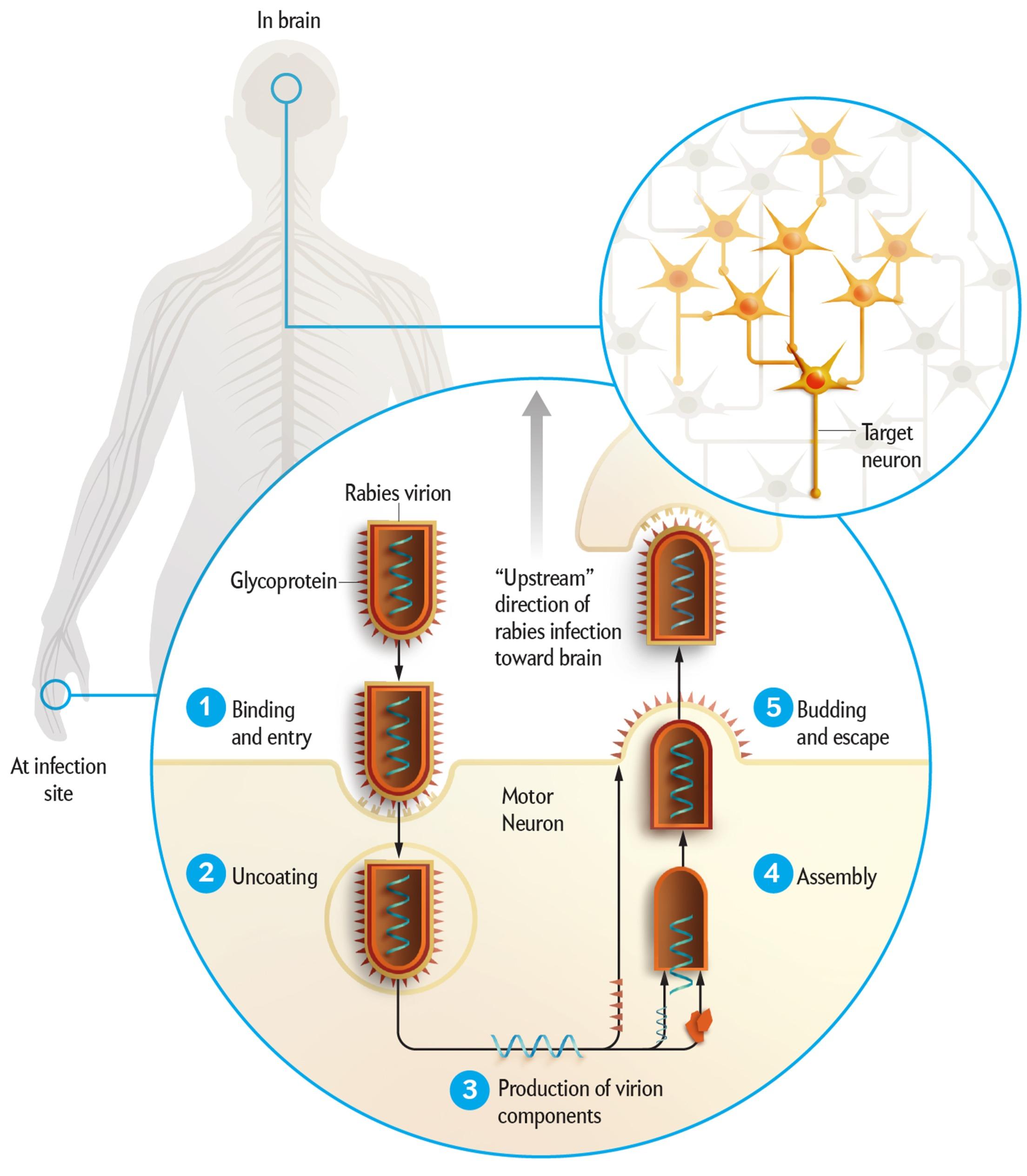 Scientific American Rabies Illustration