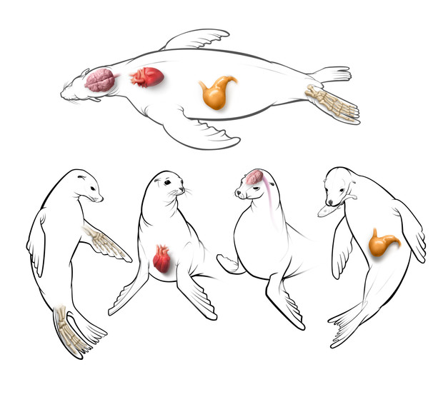 Sea Lion Anatomy