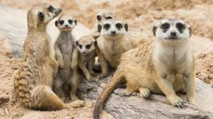 The Meerkats of your mind