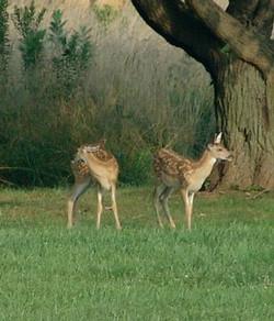 Twin Deer