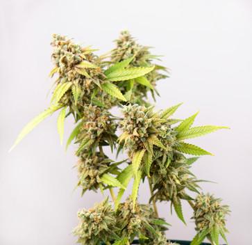 bigstock-Detail-of-cannabis-cola-Thous-179175742.jpg
