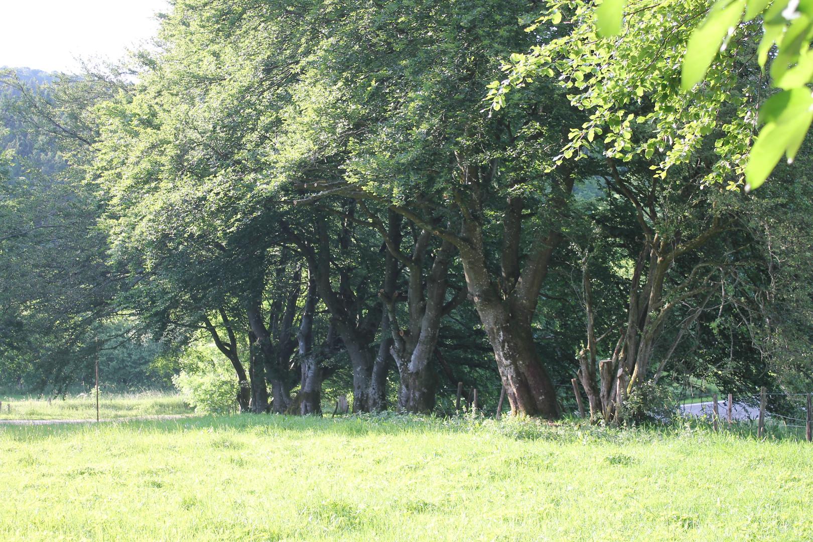 Natuur, grasweide en bomen in de Belgische Eifel