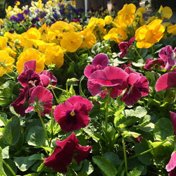 Pansy and Violas