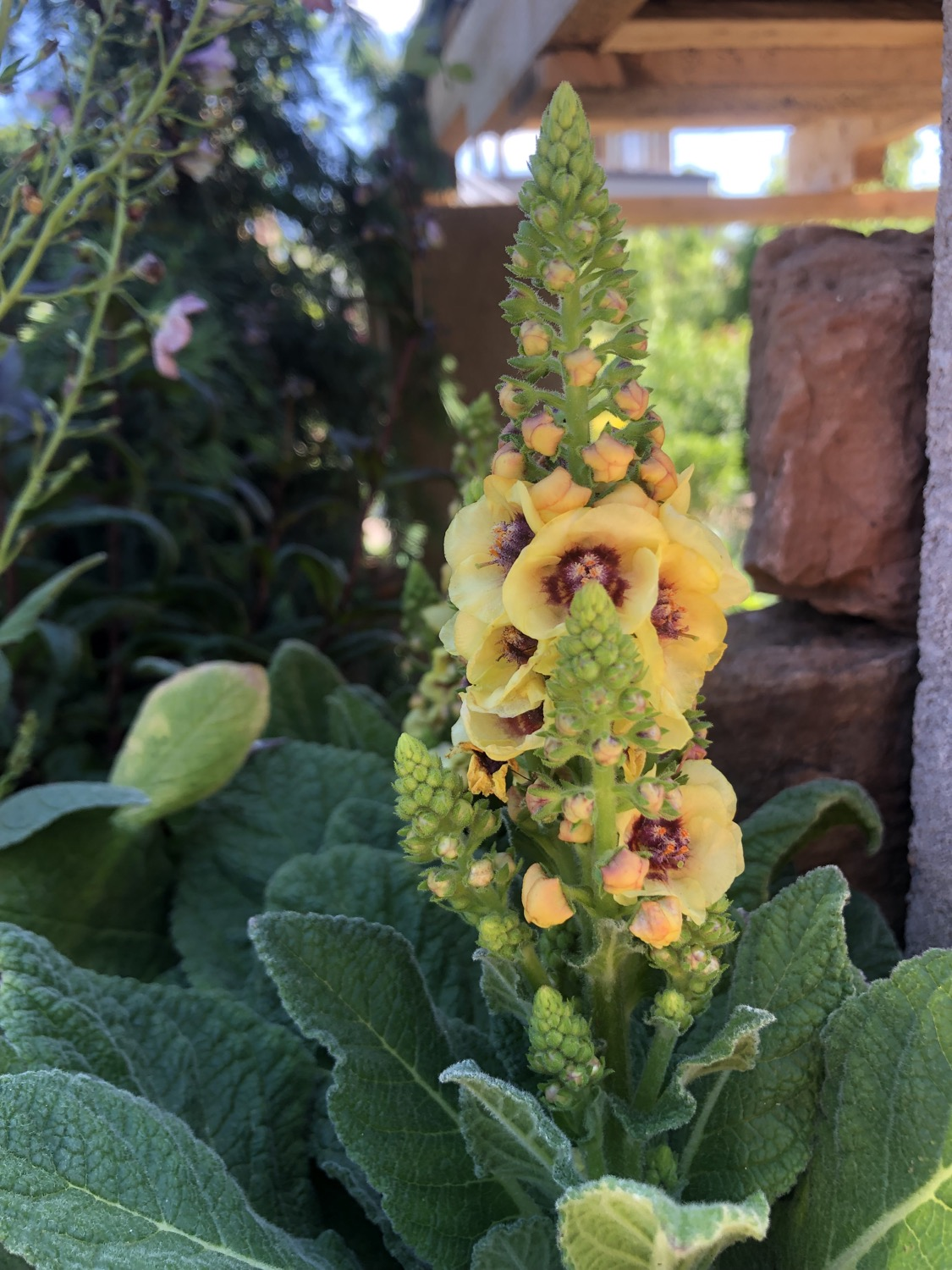 Verbascum 'Dark Eye's