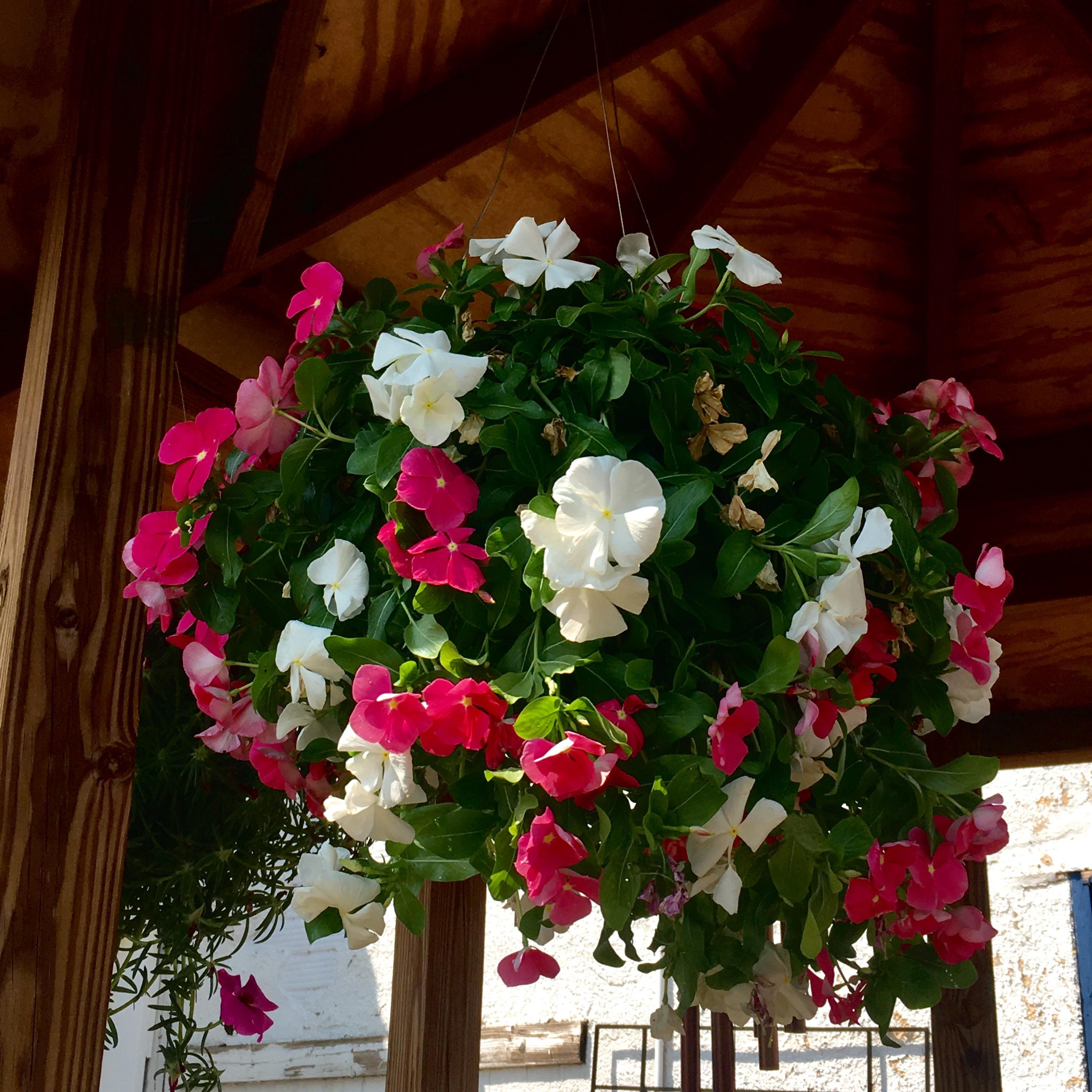Hanging Basket, Vinca