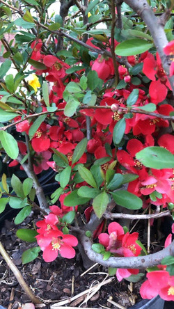 Texas Red Quince