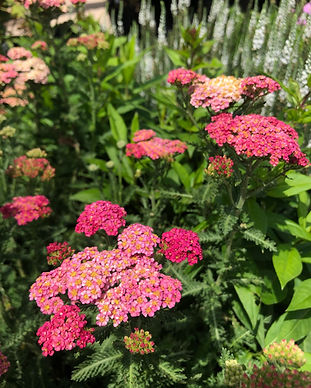 Yarrow 'Sassy Summer Taffy'