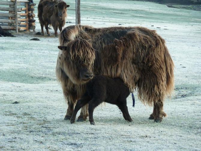 Le duvet peigné de baby yak, une alternative vitale au cachemire