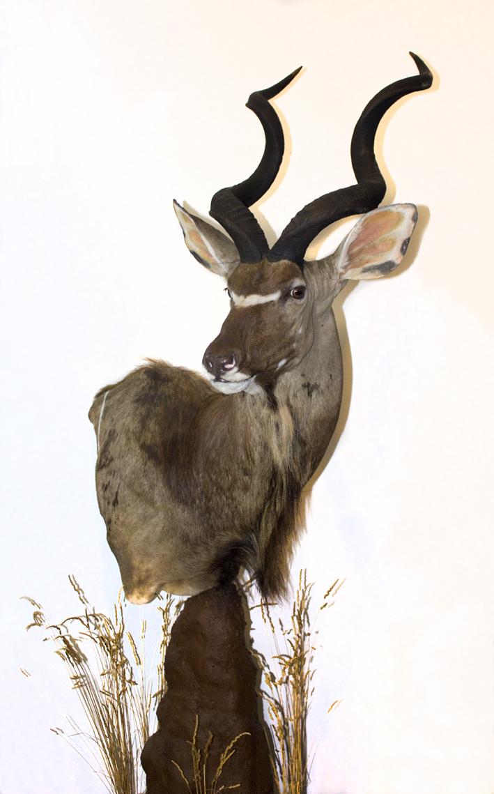Kudu termitero.png