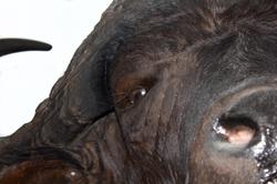 Detalle bufalo.png