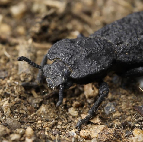 UCI materials scientists discover design secrets of nearly indestructible insect