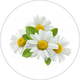 chamomila 40x40.png
