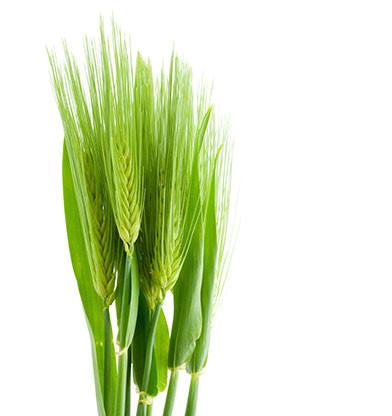 Barley Extract