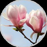 magnolia 40x40.png
