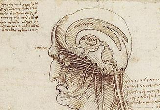 Cerveau coupe