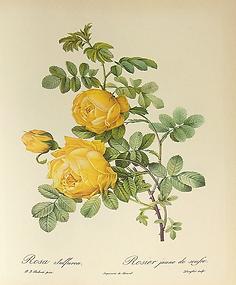 planche rosier