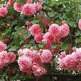les roses au jardin