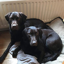 Chocoate Labradors