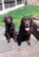 Charli and Tui, Chocolate Labrador