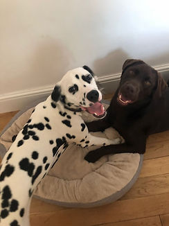 Dalmation, Chocolate Labrador