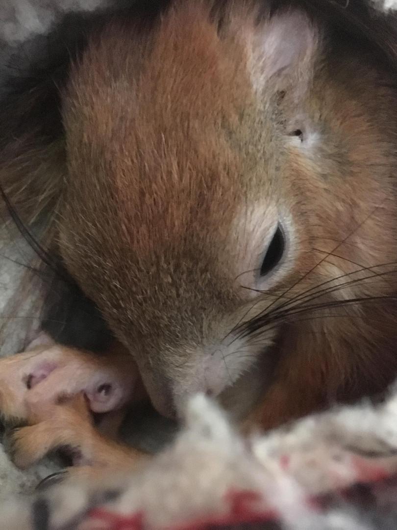 Mentett vörös mókus