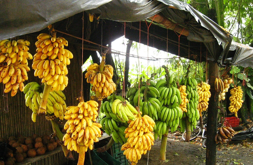 Bananas, main export product for Costa Rica