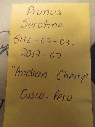 "Prunus serotina ~ ""Andean Cherry"""