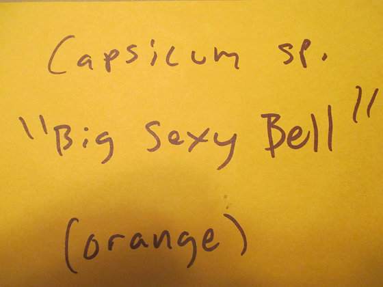"""Capsicum sp. ~ """"Big Sexy Bell"""""""