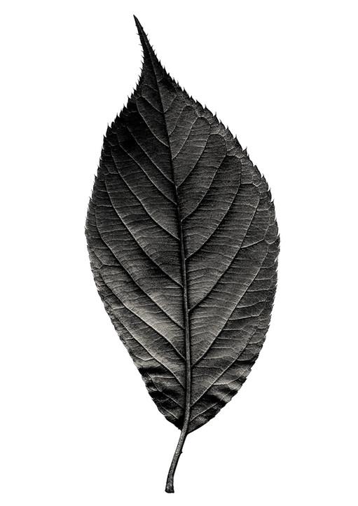 Folium (Prunus Avium)