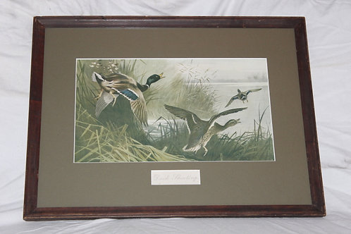 Archibald Thorburn Mallard erupt from cover Print