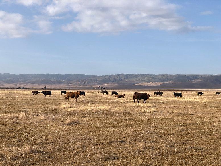 Cows 6-30.jpg