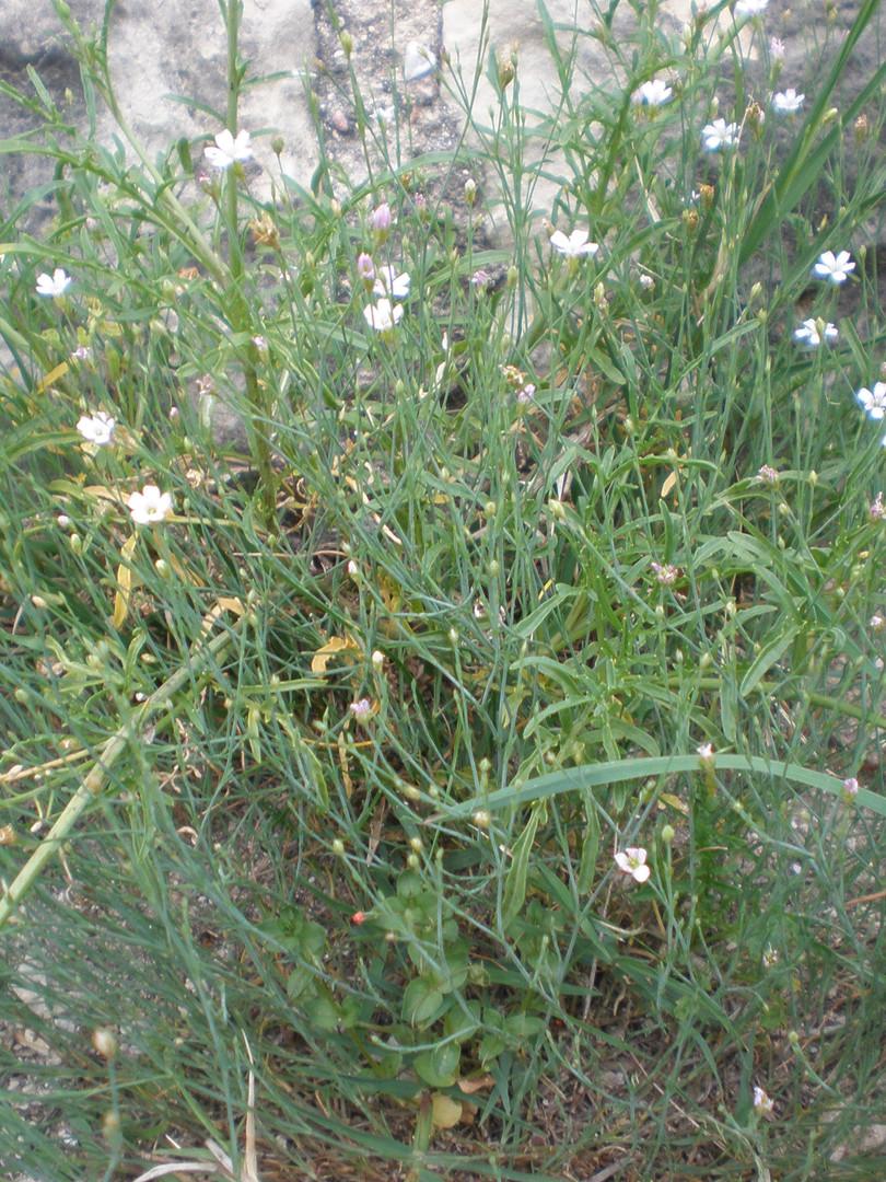 Possibly Meadow Saxifrage (Saxifraga granulata)