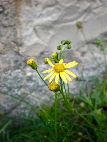 Jaffa Groundsel (Senecio glaucus)