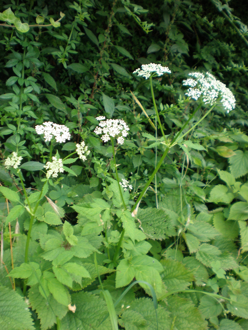 Cow Parlsey (Anthriscus sylvestris)