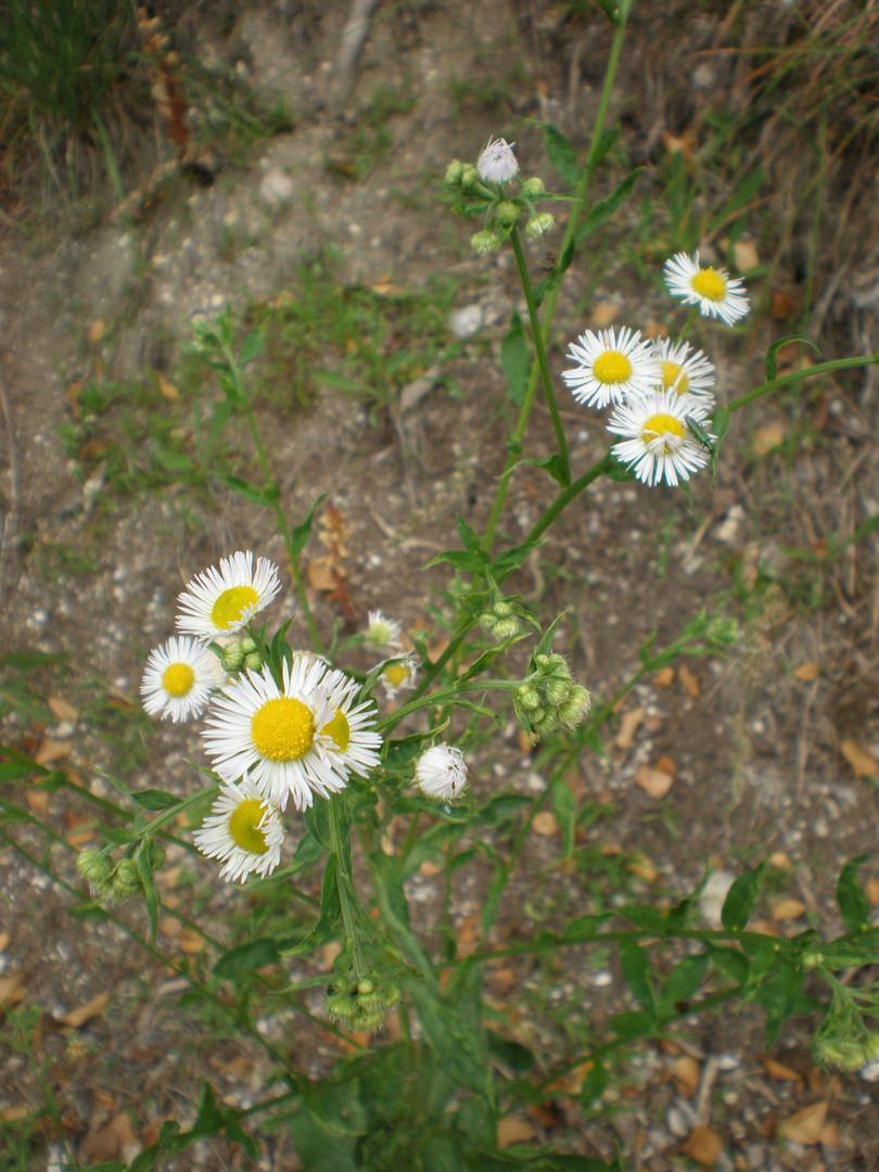 European Michealmus-Daisy (Aster Amellus (