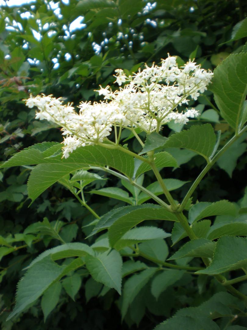 Elder blossom (Sambucus)