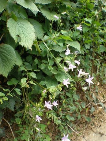 Possibly Wild Garlic (Allium ursinum)
