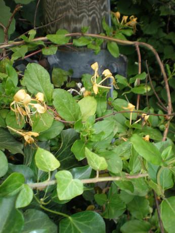 Italian Woodbine (Lonicera caprifolium)