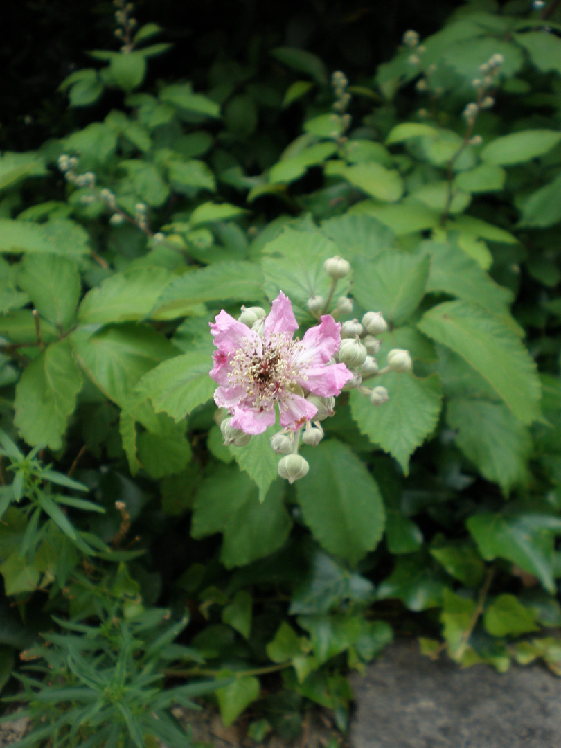 Bramble Blossom (Rubus)