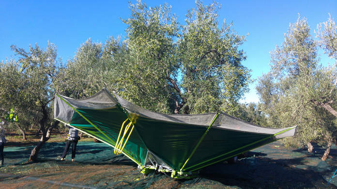 Pantaleo-foto-raccolta-olive2-696x391