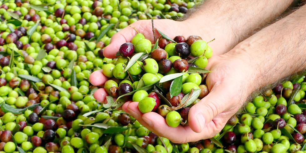 Októberi napfény, szélmalmok, olíva szüret - Szicília