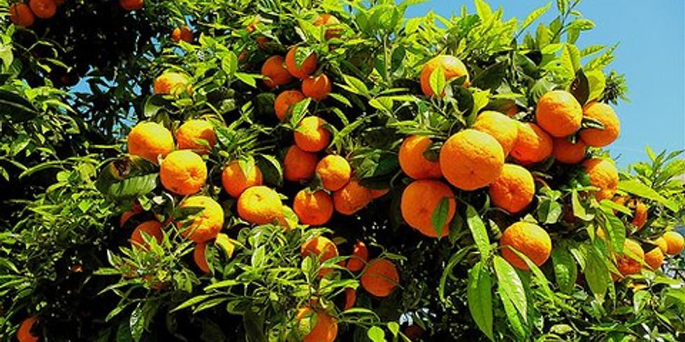 Szicília rejtett kincsei és a narancsszüret