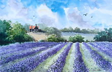 Lavender Field, North Essex..jpg