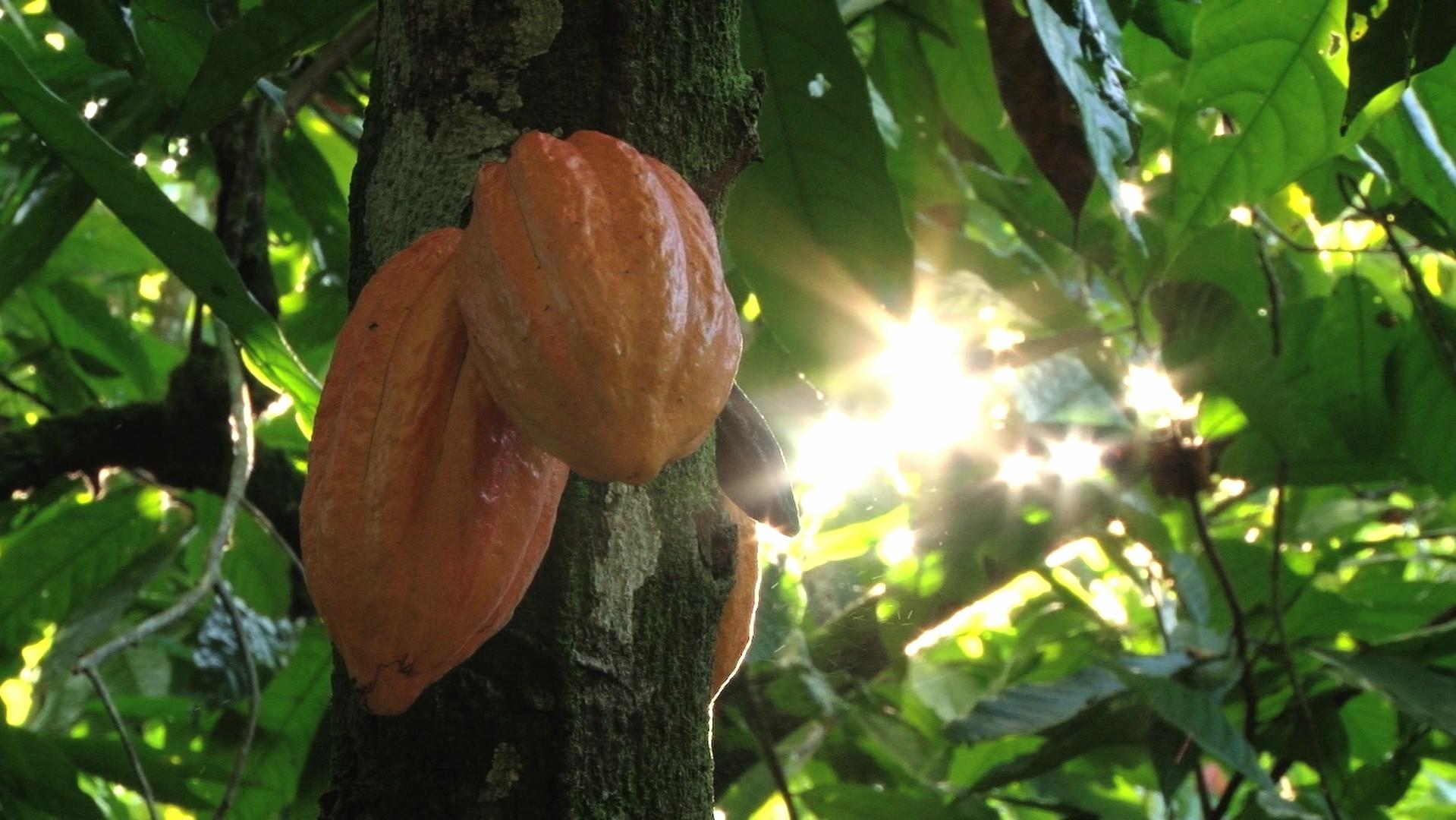 Vidéo fève de cacao GNAW