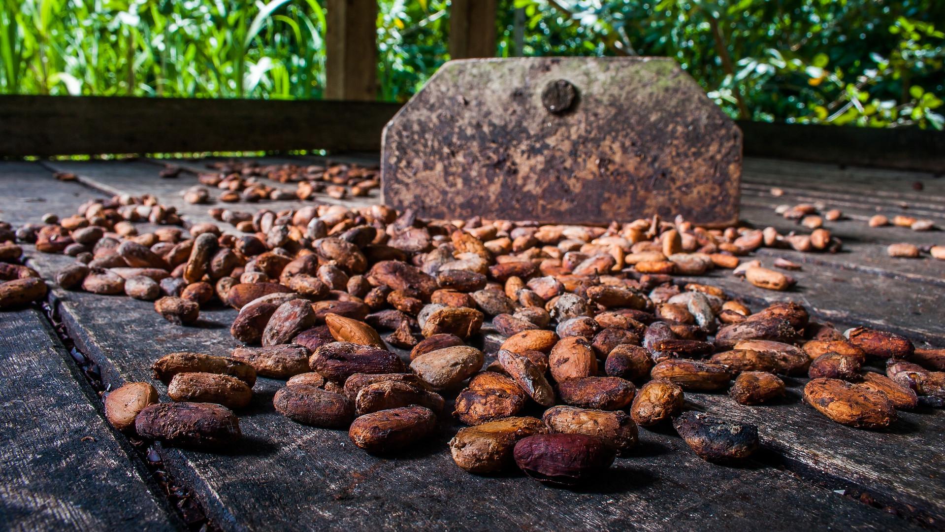 الكاكاو كما يراه مصنع الشوكولاتة GNAW