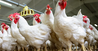 poultry_articles_broilers_broiler-breede
